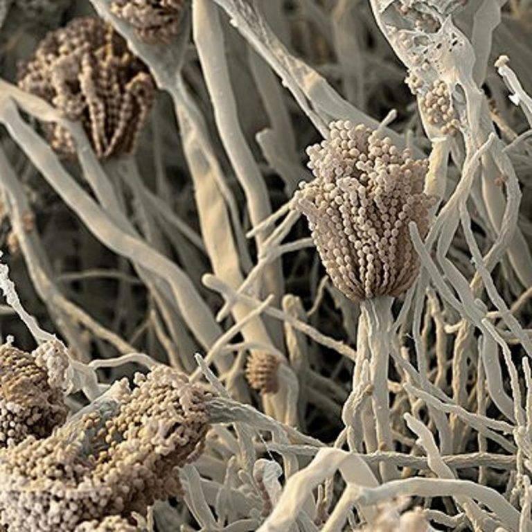 Микроскопические грибы фото и название